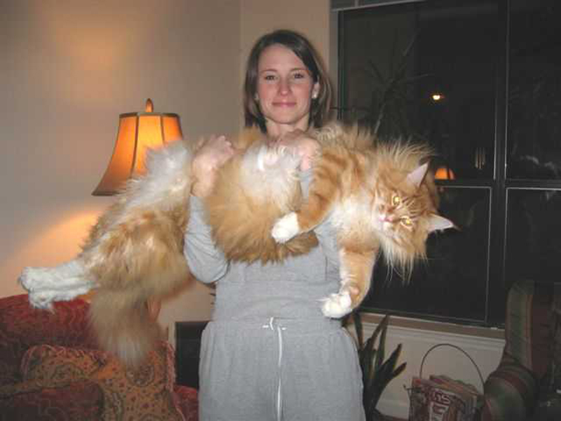 The Maine Coon Cat is the